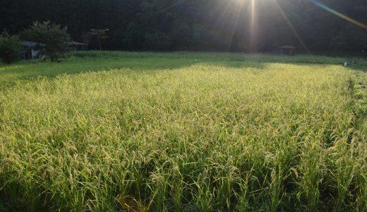 稲はスクスク育っています!